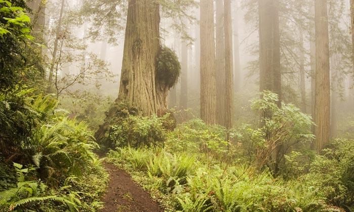 Photo of Redwood burl in Prairie Creek Redwoods State Park by Robert Hitchman