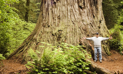 Photo of Ancient Redwood in Prairie Creek Redwoods State Park by Robert Hitchman
