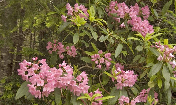 Photo of Rhododendrom blossomsl by Robert Hitchman