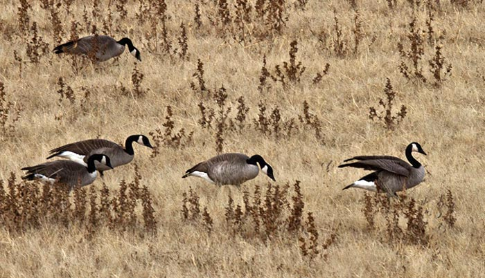 Photo of Canada Geese feeding in field at Bosque del Apache by Noella Ballenge