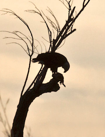 Photo of Bald Eagle eating American Coot in tree at Bosque del Apache by Noella Ballenger