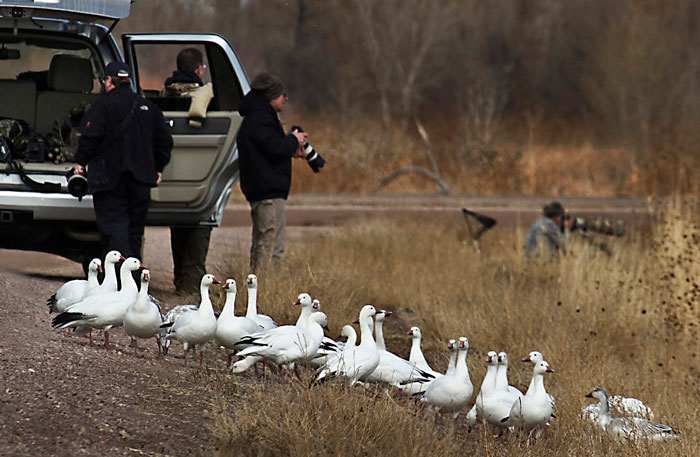 Photo of Snowy Geese and photographers at Bosque del Apache by Noella Ballenger