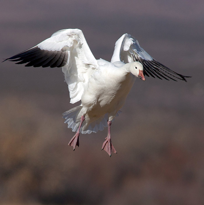 Photo of Snowy Goose landing in field at Bosque del Apache by Richard Mittleman
