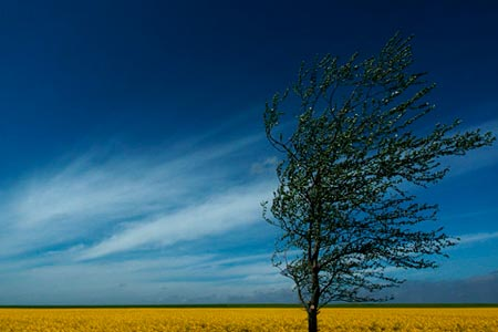 Photo showing extremely low horizon line: wind blown tree with vibrant blue sky by Gert Wagner.