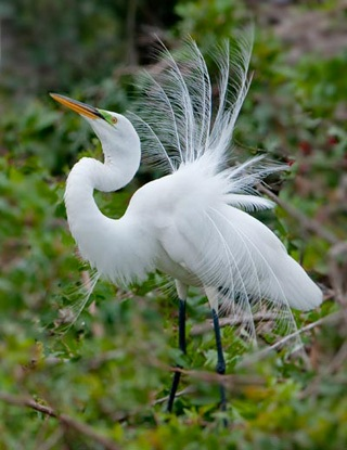 Photo of a Great White Egret displaying it feathers by Michael Leggero.