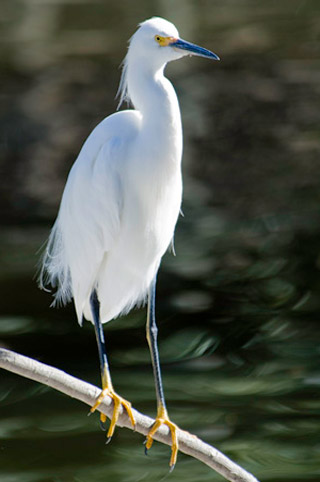 Photo of a white Snowy Egret perched on a branch by Michael Leggero.