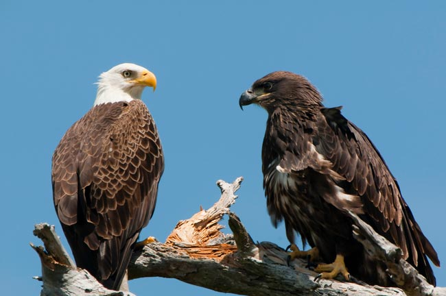 Photo of adult Bald Eagle and a young Bald Eagle perched on a branch by Michael Leggero.