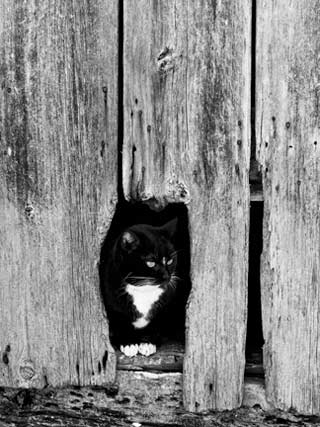 Backyard Photography: Black and white image of a black and white cat sitting in broken wood on side of barn by Randall Romano