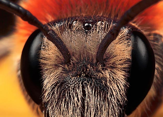 Microphotography composition: detailed head of Red Mason Bee with orange and red blurred background by Huub de Waard.