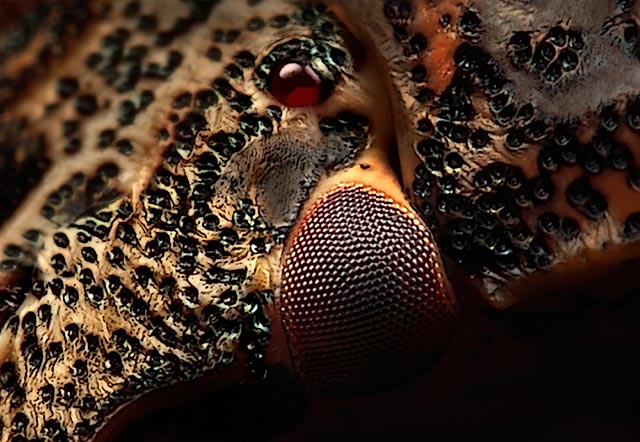 Microphotography composition: detailed head of Parent Bug with leading lines by Huub de Waard.