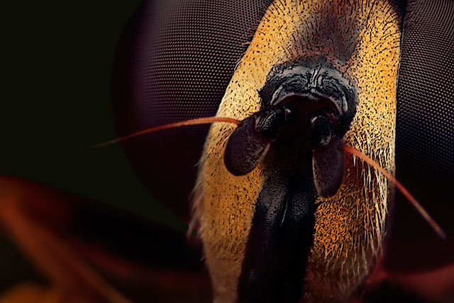 Microphotography composition: extreme close-up and detailed head of female Drone Fly by Huub de Waard.