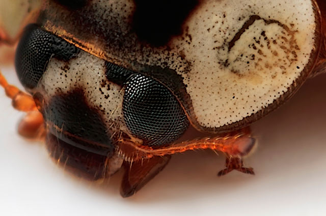 Microphotography composition: detailed head and upper body of a Ladybird bug by Huub de Waard.