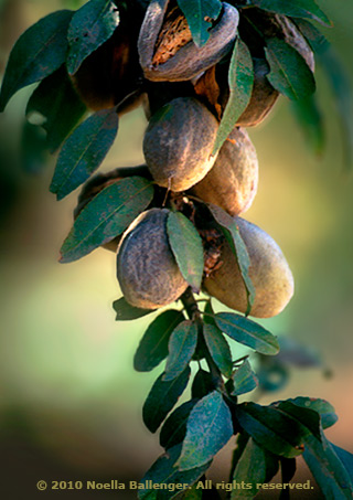 Image of walnuts on a tree with a shallow depth of field by Noella Ballenger.