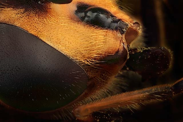 Dronefly close up