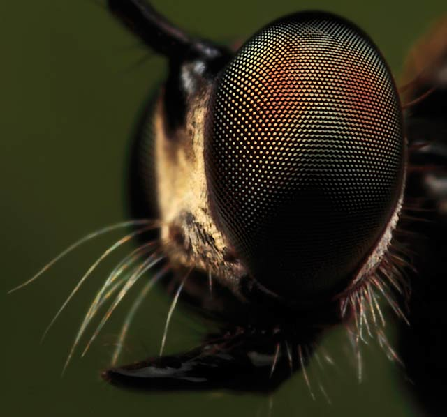 robber fly close up