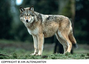 Image of wolf staring straight forward in the image frame by Jim Altengarten.