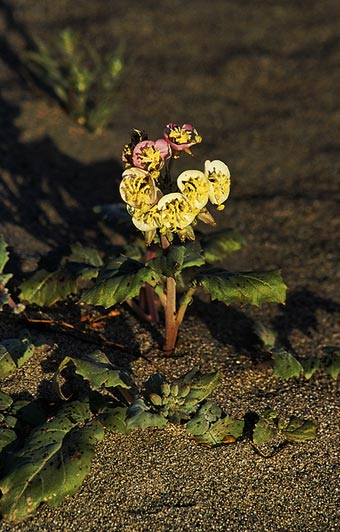 Photo of Brown-eyed Evening Primrose flower in Death Valley , Utah by Noella Ballenger
