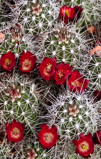 Photo of Mojave Mound Cactus and flowers in Death Valley , Utah by Noella Ballenger