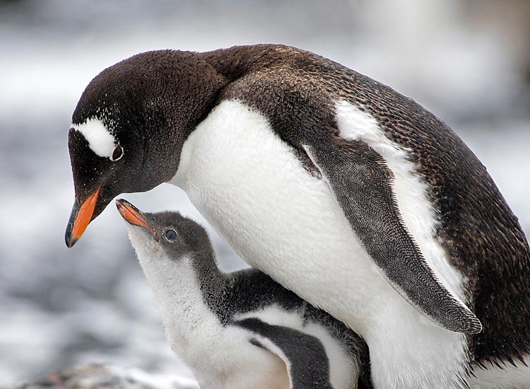 Photo of Gentoo Penguin and chick at Brown Bluff, Antarctic Peninsula by Cliff Kolber
