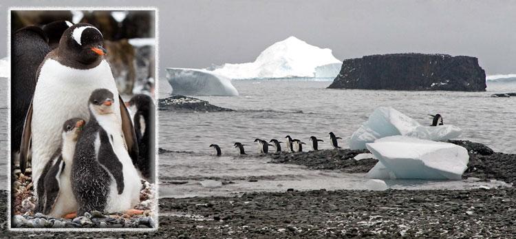 Photo of Adelie Penguins at Brown Bluff, Antarctic Peninsula by Doris Kolber