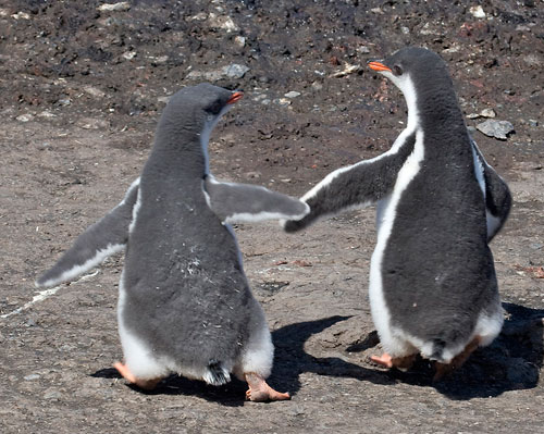 Photo of Gentoo Amore chicks at Hannah Point, Antarctica Peninsula by Cliff Kolber