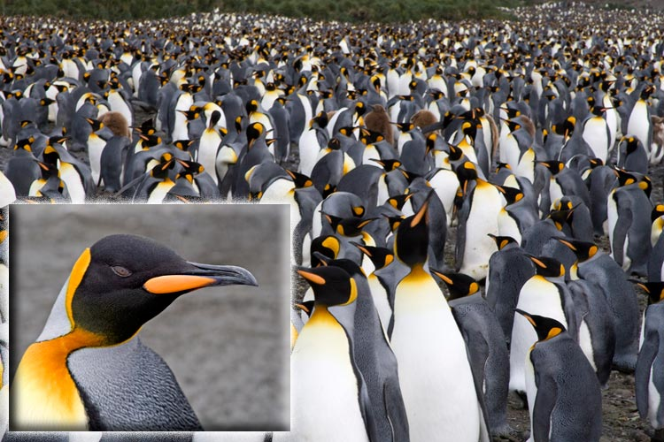 Close-up photo of King Penguin and photo of thousands of King Penguins on Salisbury Plain, South Georgia, Antarctica by Doris Kolber