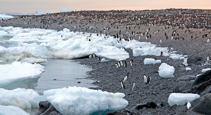 Landscape photo of thousands of Adelie Penguins on Paulet Island, Antarctica by Cliff Kolber