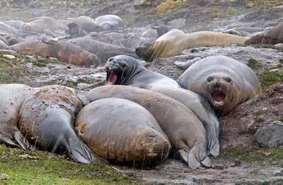 Photo of Elephant Seals at St. Andrews Bay, Antarctic Peninsula by Cliff Kolber