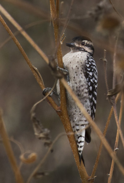 Photo of Ladder-backed Woodpecker at Bosque del Apache Wildlife Refuge by Noella Ballenger