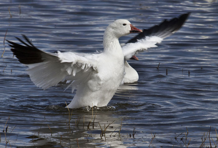 Photo of Snow Goose on pond at Bosque del Apache Wildlife Refuge by Noella Ballenger