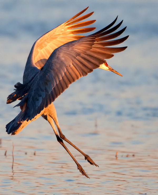 Photo of Sandhill Crane landing on pond at Bosque del Apache Wildlife Refuge by Richard Mittleman