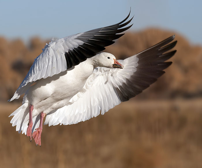Scenic pPhoto of in-flight Snow Goose landing at Bosque del Apache Wildlife Refuge by Richard Mittleman
