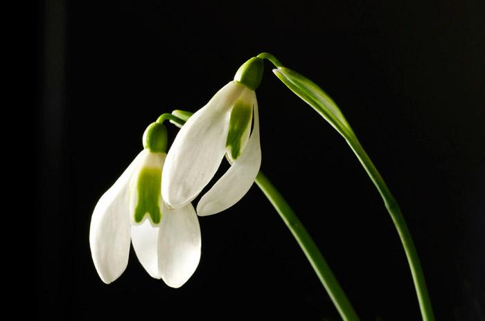 Macro photo of two Snowdrop white flowers by Edwin Brosens