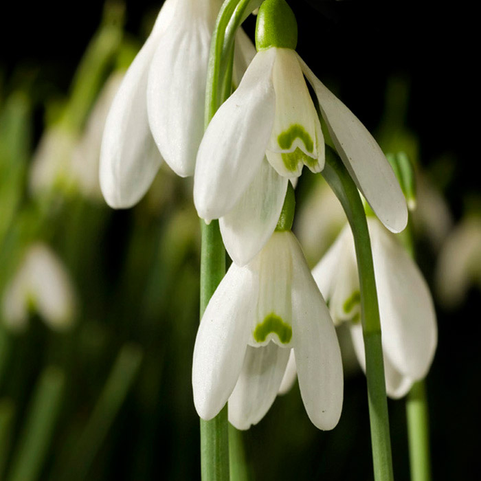 tips on photographing snowdrops  apogee photo magazine, Natural flower