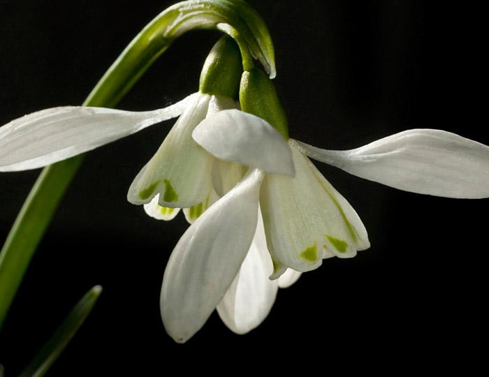 Macro photo of Snowdrop white flowers by Edwin Brosens