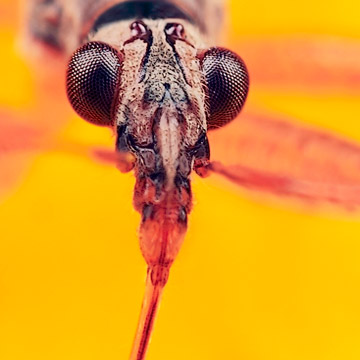 Microphoto of Common Damsel Bug showing extreme close-up of head, mouth and eyes by Huub de Waard.