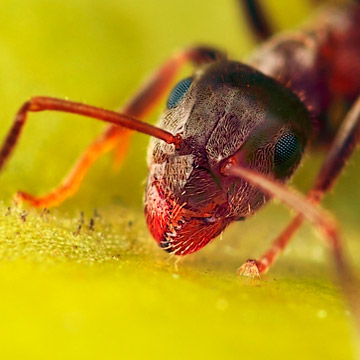 Microphoto of Black Garden Ant showing extreme close-up of head, mouth and eyes by Huub de Waard.