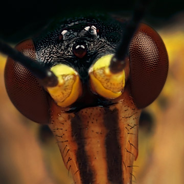 Microphoto of Common Scorpion Fly showing extreme close-up of head and eyes by Huub de Waard.