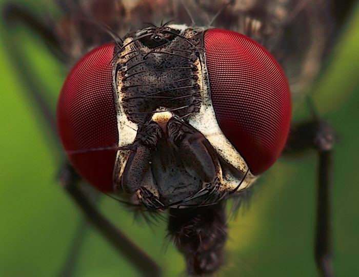 Microphoto of Flesh Fly showing extreme close-up of head and eyes by Huub de Waard.
