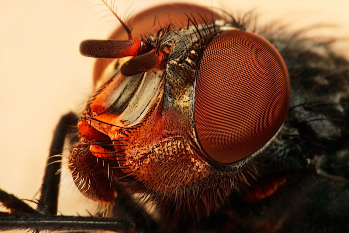 Microphoto of a Yellow Cheek Fly showing extreme close-up of head, mouth and eyes by Huub de Waard.