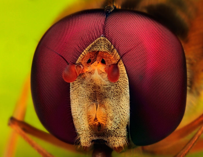 Microphoto of Male Marmalade Hoverfly showing extreme close-up of head and eyes by Huub de Waard.