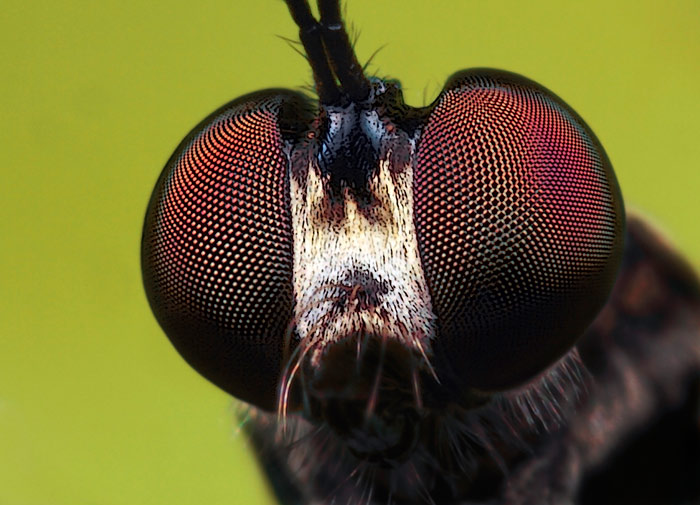 Microphoto of Robber Fly showing extreme close-up of head and eyes by Huub de Waard.