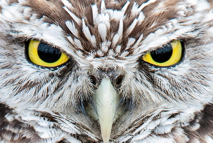 Close-up photo of gold eyes of Burrowing Owl by Michael Leggero.