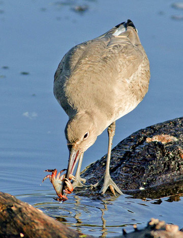 Bird photo of a Willet with crab in beak along shore by Colin Dunleavy.