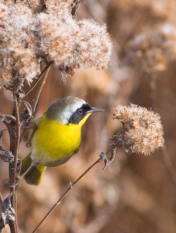 Bird photo of Common Yellowthroat perched on weed by Colin Dunleavy.