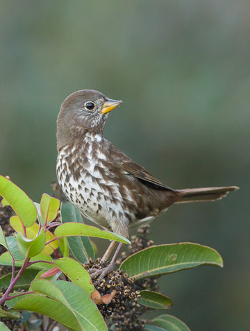 Bird photo of Fox Sparrow perched on plant by Colin Dunleavy.