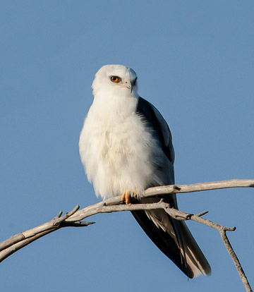 Bird photo of White Tailed Kite perched on branch by Colin Dunleavy.