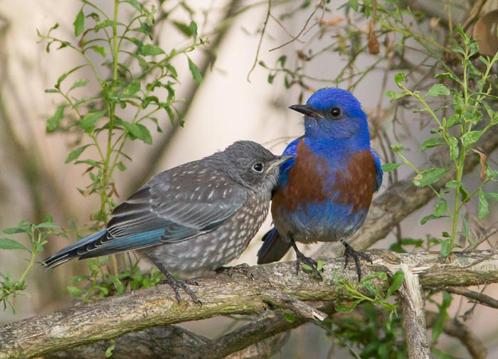 Photo of adult and young Western Bluebirds on branch by Colin Dunleavy.