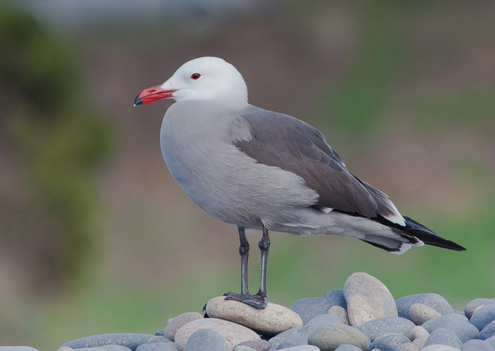 Bird photo of Heerman's Gull standing on river rocks by Colin Dunleavy.