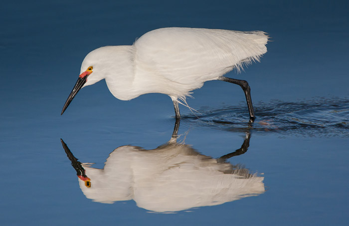 Reflection bird photo of white Snowy Egret walking through water by Colin Dunleavy.